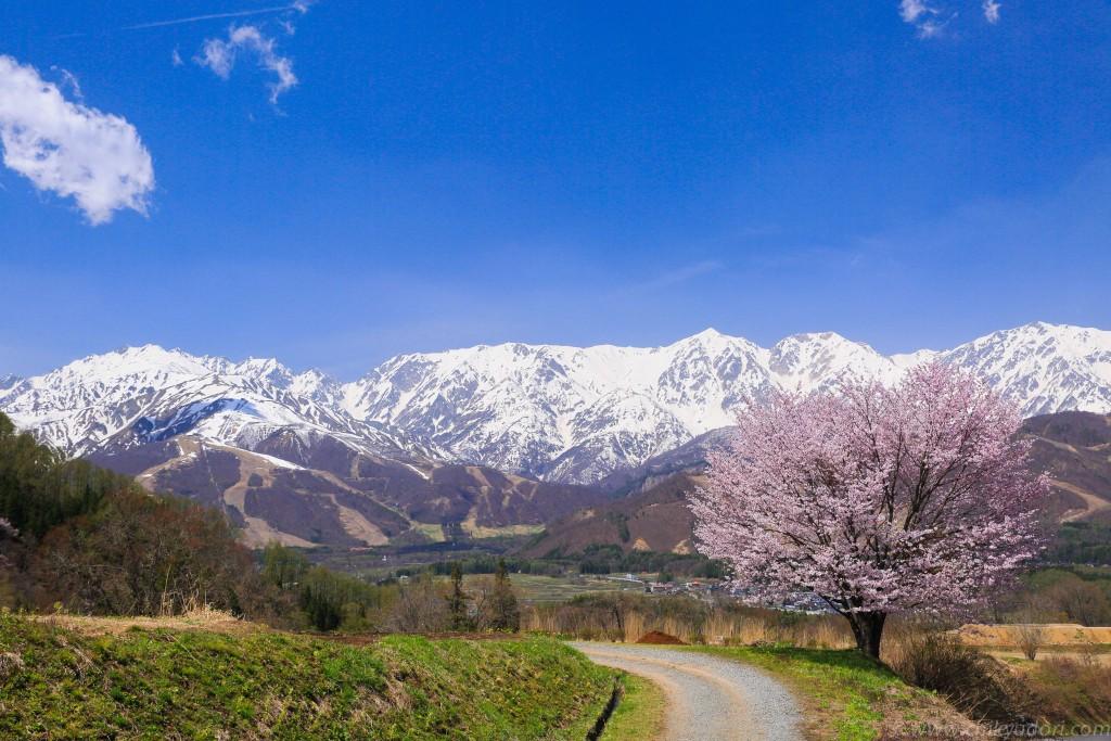 野平の一本桜と白馬連峰 | 地球...